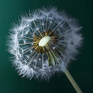 Dandelion - Zen Coaching